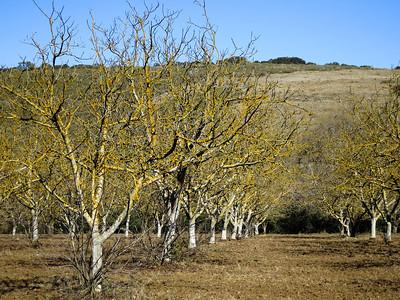 Jan 27: Lichen-covered orchard alongside Calero Creek Trail near Santa Teresa County Park.