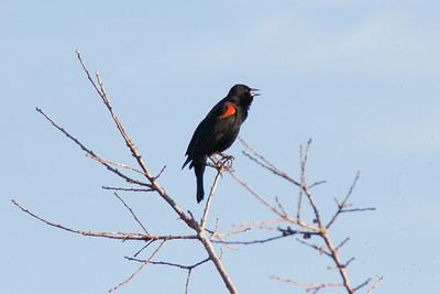 Feb 5: Red-winged Blackbird singing.