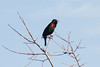 Feb 5: Red-winged Blackbird singing.
