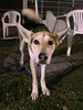 Jan 26: Roo, the #1 mixed breed in AKC agility as of this week. She earned her MACH (championship) the following week.