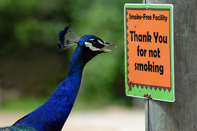 07-13-07.  What!!!  You mean I can't smoke out here!  What's a peacock to do, if he can't smoke in the zoo?  This is ridiculous.    I watched this peacock for about 20 minutes today.  He would jump up on a railing, then stare straight at this sign.  He would move his head back and forth while he studied it.  Then he would rare back and peck at it.  Then he would jump down off the railing, circle around, and then repeat the whole process.  It was the craziest thing I've ever seen.  I have a few more pictures that show him actually pecking the sign, but I liked this one better because it actually looks like he is reading it.    I would love to hear other suggestions for a caption.