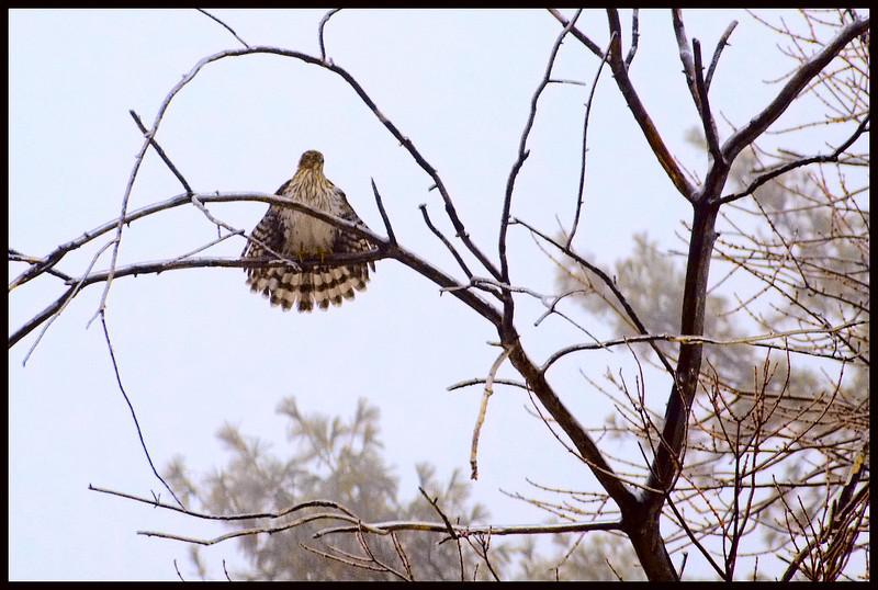 Hawk image copy 2