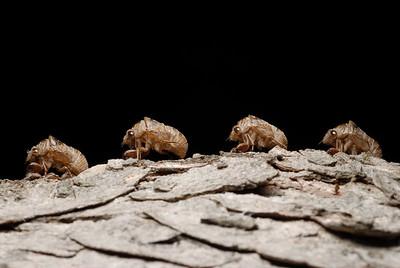 07-06-06.  Marching cicada shells.