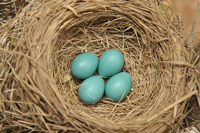 04-25-09.  Beautiful Blue Robin Eggs.    We had a busy day today.  After breakfast, Camille and I drove to Dad & Karen's house to borrow their extension ladder for a few projects around the house.    After we got home, we headed to Fassnight Park for a city-wide play date.  The park was full of kids and various activities for them.    After lunch and a quick nap, I got to work on our siding.  We had about 6 or 7 pieces of damaged siding from last January's hail storm.  (yes, it has taken me more than a year to fix this)  The damage wasn't very noticeable, but it needed to be fixed.  Luckily, I was able to find the exact match for our existing siding.  The process of removing and replacing the individual siding pieces was pretty straight forward, but it took about 10 trips up and down a 20 ft extension ladder for each piece.  It took about 2 hours to make the repairs.  I can't believe I waited so long to take care of such an easy fix.  While I had the ladder out, I decided to trim a couple trees in the backyard.  Sorry Noel, for taking the redneck approach, but I don't have a pole saw, and the  trees weren't big enough to climb.  Our cherry tree had the top broken out in the 2007 ice storm.  The top had grown a bunch of sprouts, so I thinned them out in hopes of improving the shape of the tree.  While I was in the tree, I had a good view of a Robin's nest, so I couldn't resist taking a picture.    After cleaning up the brush from the tree I spent the rest of the afternoon playing in the backyard with Camille and Kate.  Camille ended up getting pretty hot and sweaty.  The swingset, slide, and grass were all coated with a nice thick dusting of pollen.  The pollen ended up covering Camille's sweaty body from head to toe.  She ended up getting a rash over most of her body, and her face and eyes were a little swollen.  It didn't seem to slow her down much though.