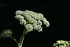 June 24, 2015.  Cow parsnip