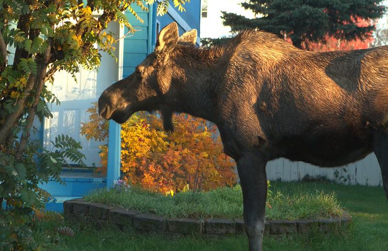 October 19, 2015.  Mama moose