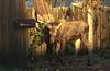 October 19, 2015.  Baby moose still damp from the morning dew