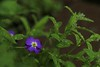 May 31, 2015.  Little blue flower