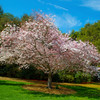 Photo-Art Cherry Tree Blossoms