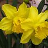 Photo-Art Daffodil