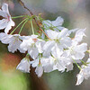 Photo-Art Cherry Blossom