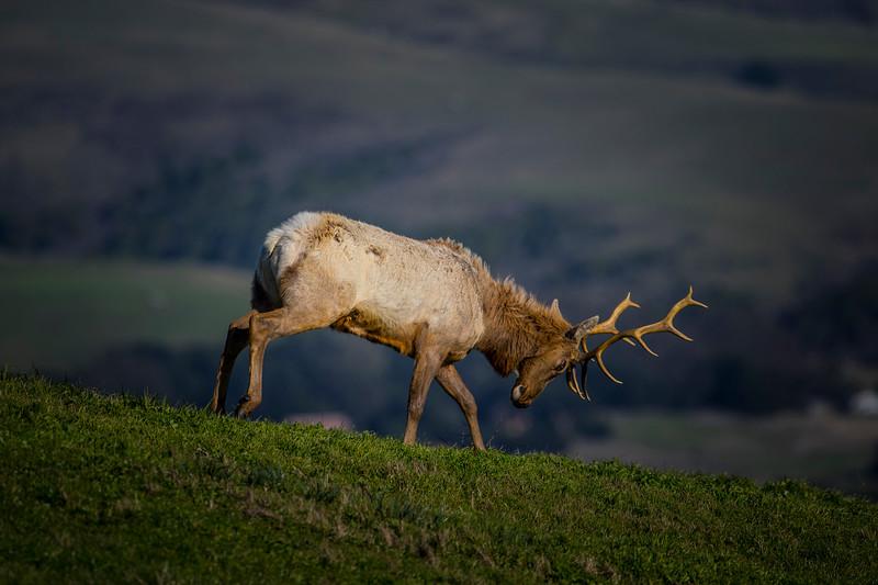 Tule elk in Point Reyes National Seashore
