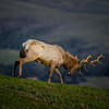 Tule elk in Point Reyes National Seashore