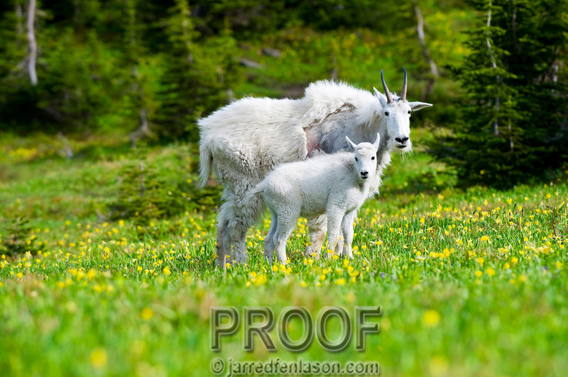 """Mountain Goat and Kid Enjoying the Summer Greens""<br /> <br /> Hiking at an elevation of 6,600 feet in Glacier National Park I watched from a distance as these mountain goats enjoyed their afternoon meal of grass and flowers.  This photo was taken in mid summer once most of the trails were open.  You can see how she is loosing her winter coat.  I shot this with a 200mm 2.8 lens and a 1.4X tele-extender."