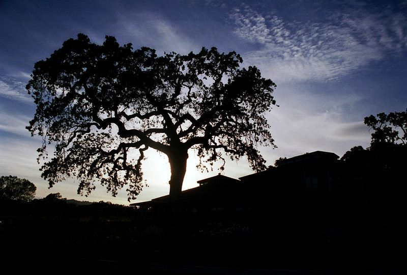 A silhouetted tree graces a Calistoga, CA, hill top in Napa Valley.