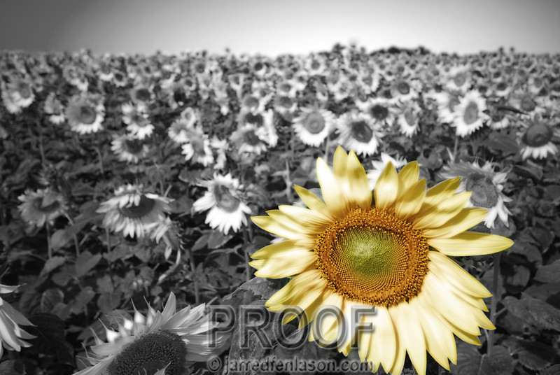 """Summer Sunflower Field""<br /> <br /> While driving in northern Michigan on Sunday afternoon we noticed this summer sunflower field.  It was amazing how all the sunflowers were black, white & gray except for this one!  (OK, maybe not.)  After taking a few pictures of the kids surrounded by the flowers I took this shot.  It was a nice, but commonly captured scene.  When I converted it to black and white and carefully painted the color back into this one flower, I found it had developed into a photograph that quickly became one of my favorites."