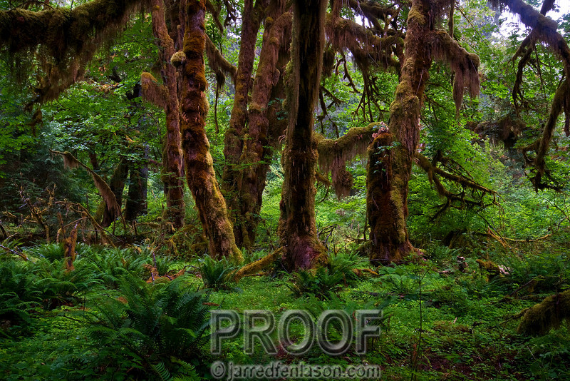 """The Hoh Rainforest - Olympic National Park""<br /> <br /> Walking into the Hoh Rainforest  was like entering a different continent.  The lushly carpeted ground and moss covered trees set an atmosphere that would be fitting for filming Jurassic Park.  I shot this photograph at a slow shutter speed of 1/2 second due to the low lighting conditions.  (And yes, it rained the entire time we were there.)"
