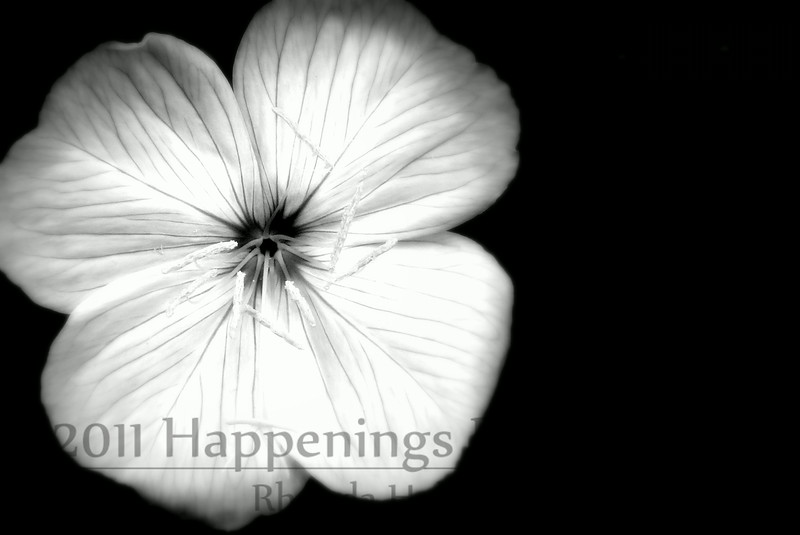 Buttercup in Black n White by Rhonda Holcomb