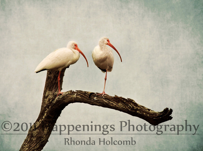 Two Ibis in a Tree<br /> Copyright 2010 Rhonda Holcomb