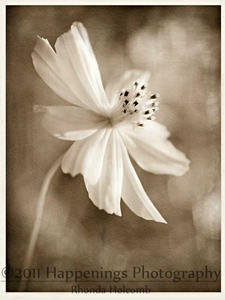 Cosmos in Soft Light by Rhonda Holcomb ©2012