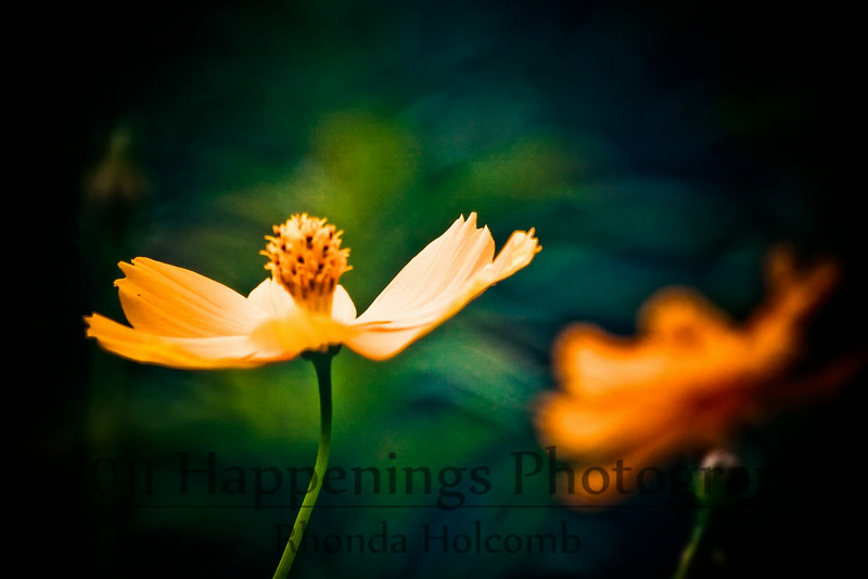Orange Cosmos in the Wind by Rhonda Holcomb