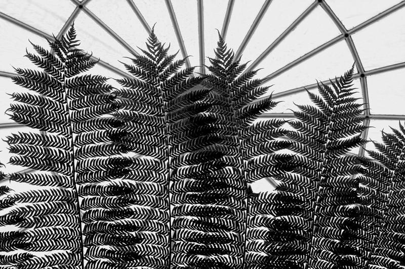 A 'Forest' of Ferns, monochrome version (SC-2 2017-10-25)
