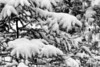 Snow on fir tree - basic BW version