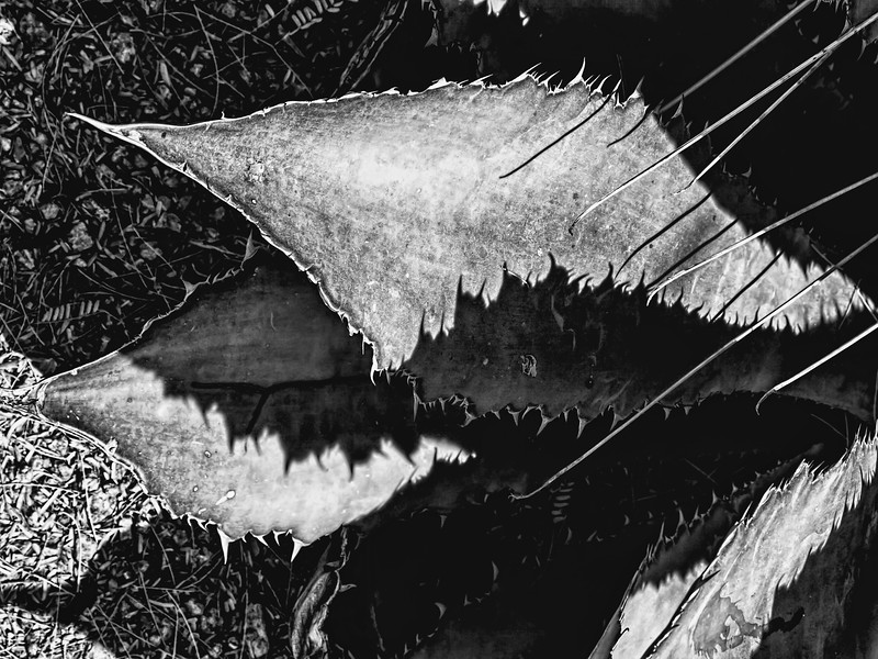 Featured:  Shadows of agave, on agave - conventional BW version