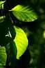 Beech Leaf Semaphore - F<br /> American Beech<br /> <br /> Toledo Botanical Garden, Ohio<br /> June 3, 2012<br /> (nex5n)