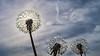 Sun Flowers - dandelion delights