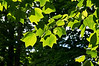 Young leaves of a tulip tree, backlit by late afternoon sun.<br /> (I used a touch of Paint Daubs filter to highlight the veining in the leaves.)<br /> <br /> Forest Hill Cemetery, Ann Arbor, Michigan<br /> May 29, 2012<br /> (nex5n)