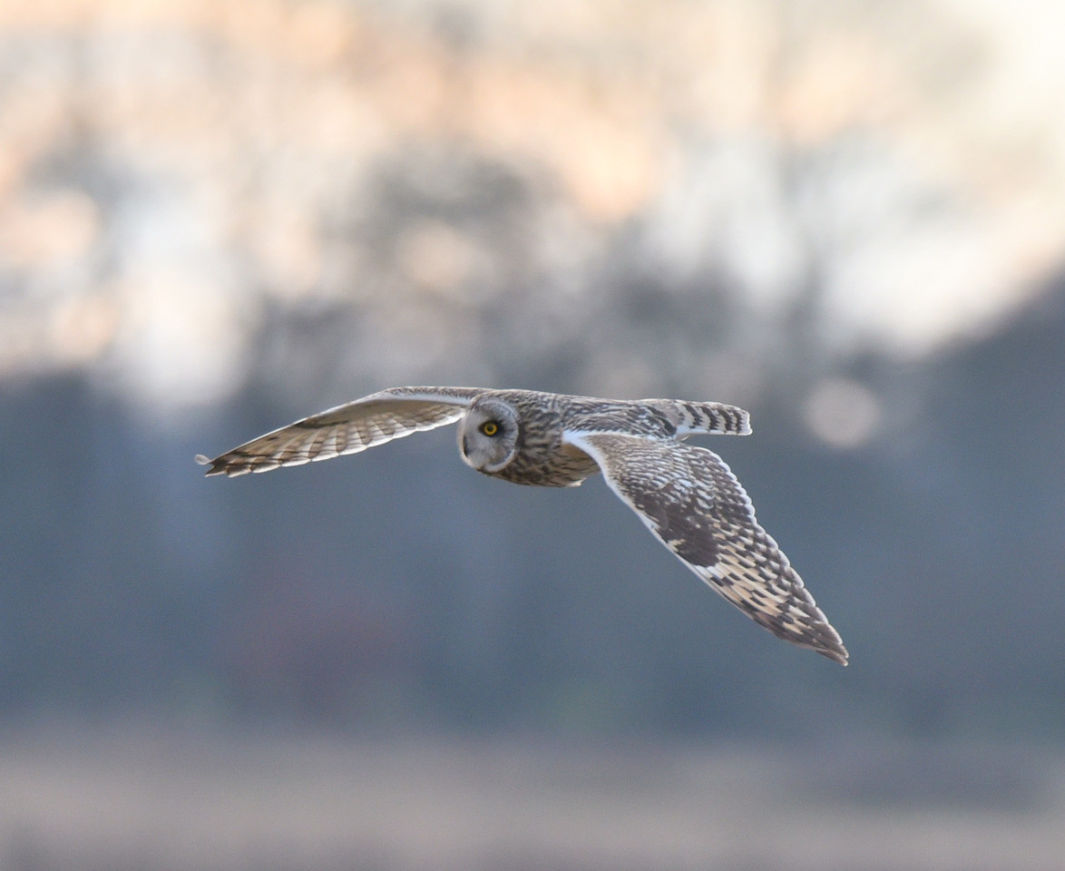 Short Eared Owl at Lunt Meadow. February 2018.