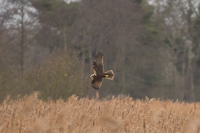 Marsh Harrier at Strumpshaw Fen. December 2018.