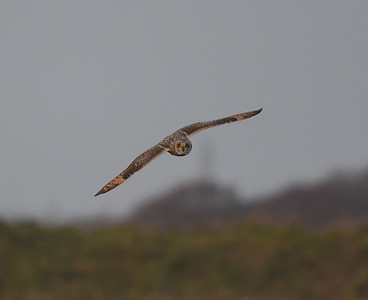 Short Eared Owl at Lunt Meadow. December 2017.