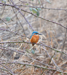 Kingfisher at Lunt Meadow. February 2018.