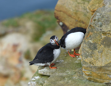Puffins, Dunnet Head. April 2019.