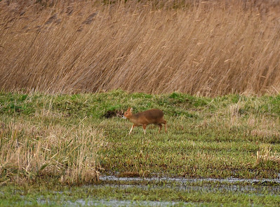 Water Deer at Strumpshaw Fen. December 2018.