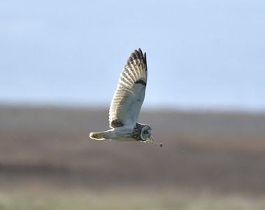 Short Eared Owl, Parkgate. March 2019.