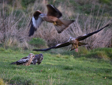 Buzzards and Red Kites at Gigrin Farm. November 2017.