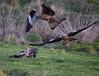 Buzzards and Red Kites at Gigrin Farm. November 2017.