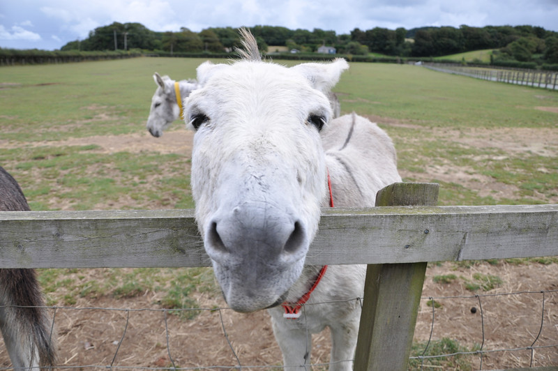 A resident at the Isle of Wight Donkey Sanctuary. September 2013.