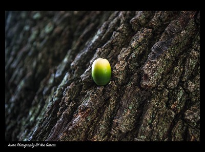 Acorn Photography By Noe Garcia