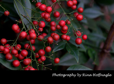 Berries by Rina Hoffnagle