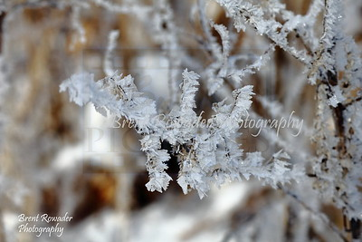 bush with frost