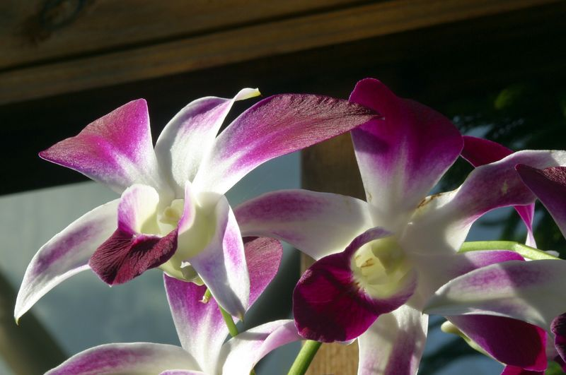 """Aside from the shades of purple on the petals, I really like the """"velvet"""" texture of these orchids."""