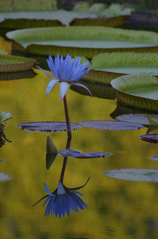 A late-afternoon shot of a flower on the lily pond.  I set the camera to purposely get a sharp reflection of the flower, but everything else blurred.