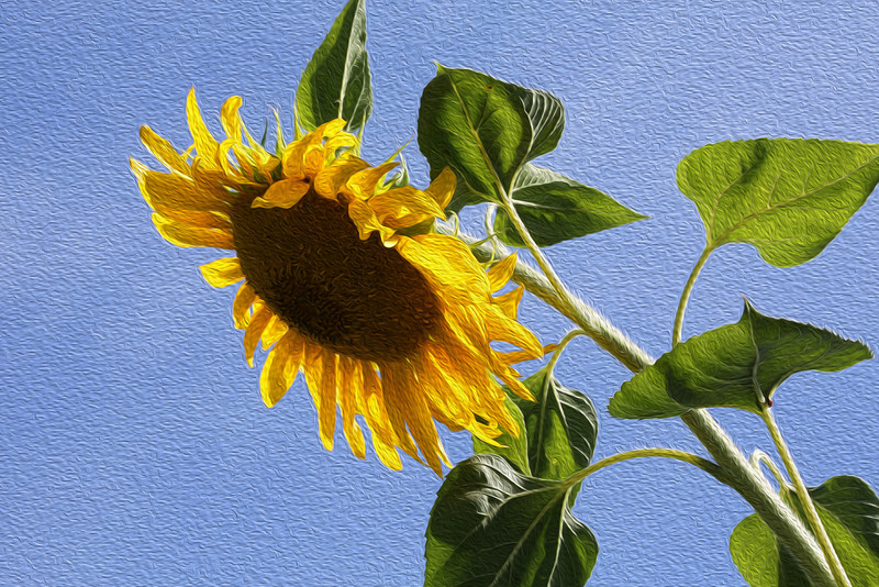 Sunflower, taken with Canon 5d mark 111, HDR-OilPainted