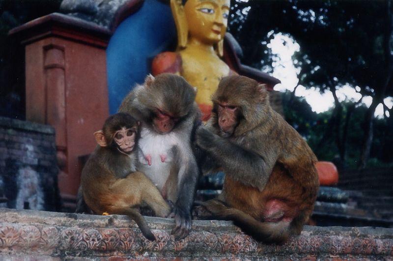Swayambhunath Stupa Monkeys, Kathmandu, Nepal