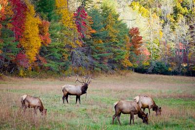 Bugling elk in Cataloochee - Fall of 2012