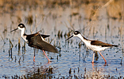 "2 images, Black-necked Stilt,  2008 Yolo Bypass Wildlife Area. Best viewed in 2XL size.  To purchase this or any other panoramic image, select ""none"" as your crop option at checkout."